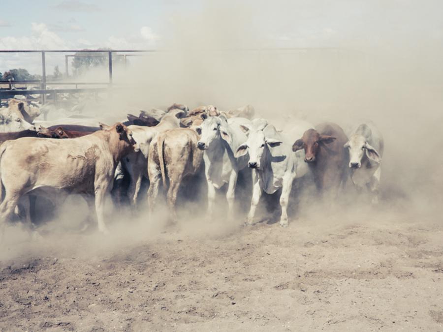 Koeien vangen met een helikopter